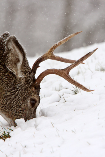 Buck in Cold Winter Weather