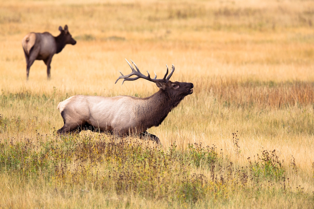 Elk Running from Hunters