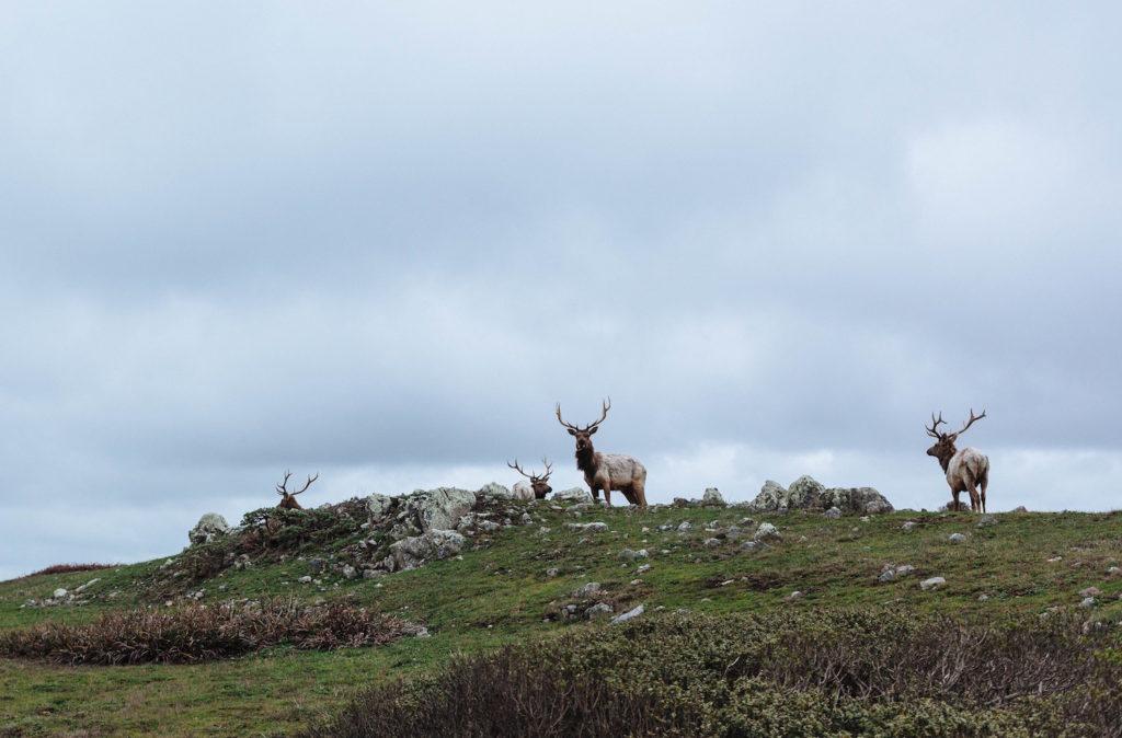Four Bull Elk on Alert