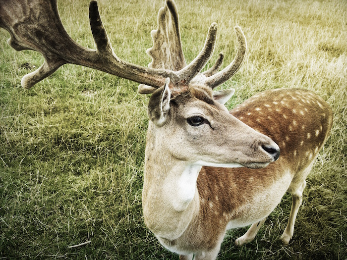 Whitetail Buck with Spots