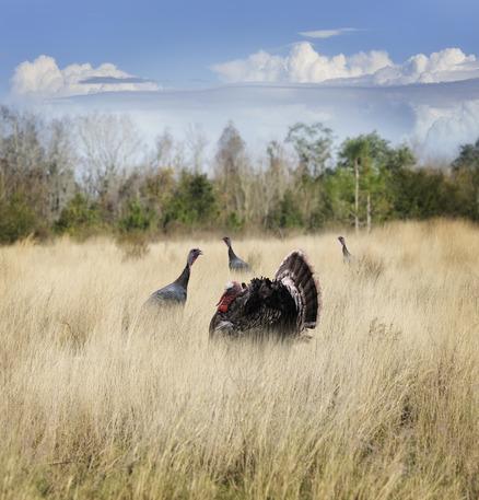 Four Turkeys