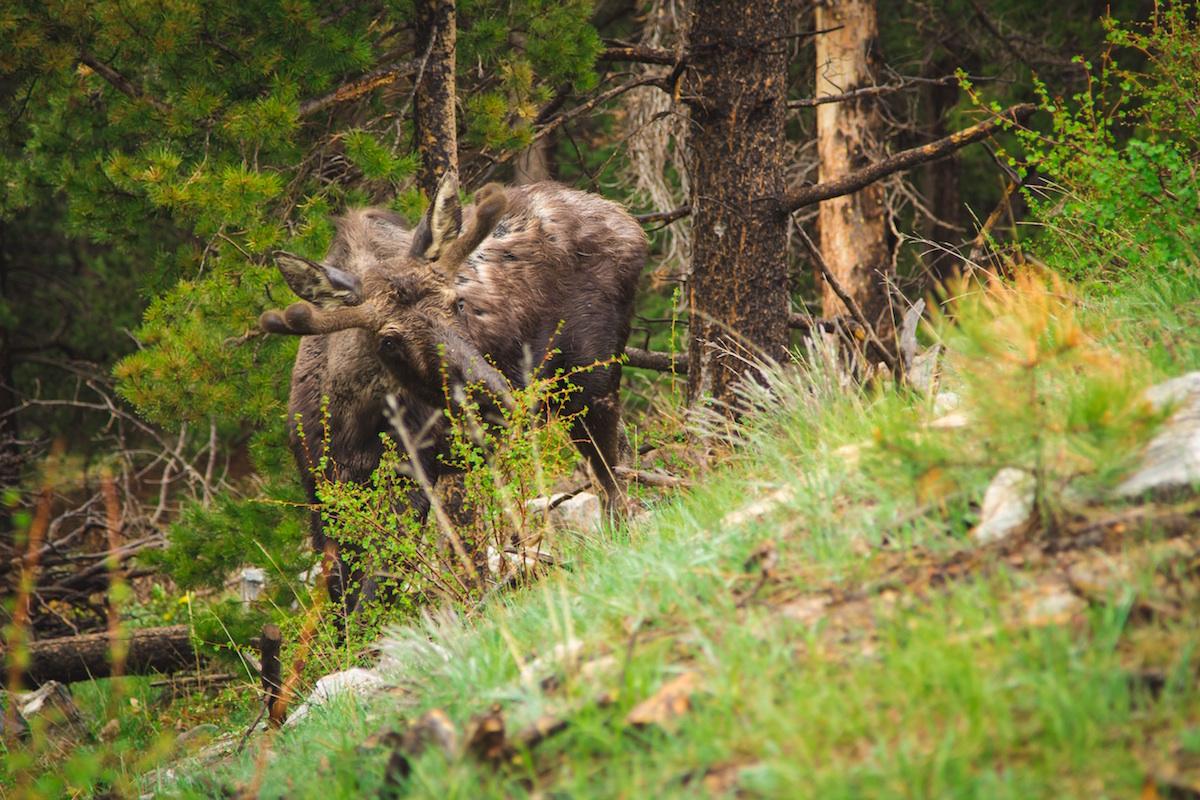 Moose with Velvet Antlers