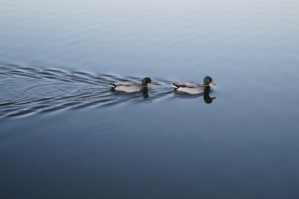 Two Mallards Swimming