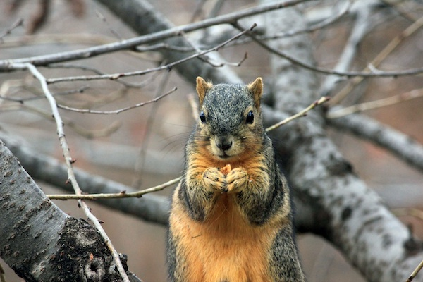 Fox Squirrel Hunting Tips