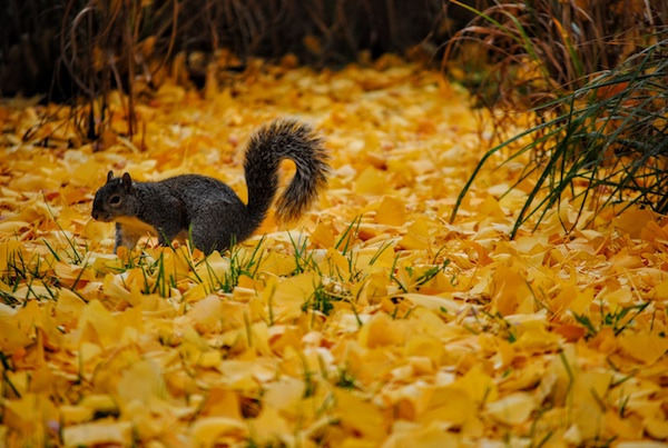 Squirrel in leaves