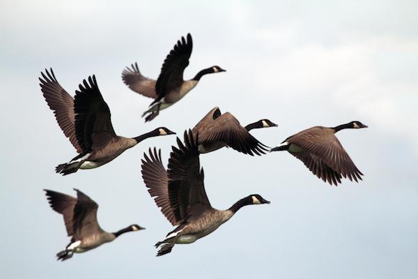 6 Best Goose Calls
